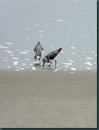 sanderling duet