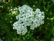 CommonYarrow (8)