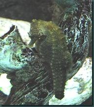 seahorse (2)