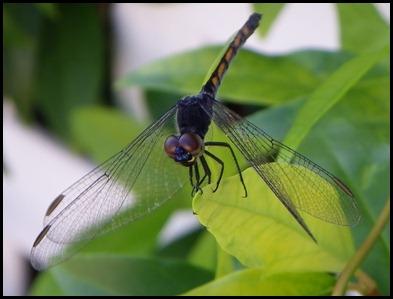 dragonfly black0710 (1)