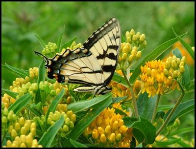 EYS butterfly 0610