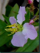 meadow beauty0610 (2)