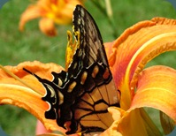 swallowtail-day lily (8)