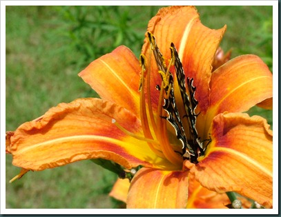 swallowtail-day lily (7)