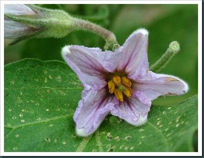 eggplant flwr0728 (1)