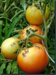 tomatoes0728 (2)