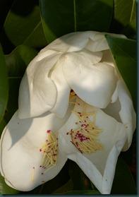 magnolia10 0607