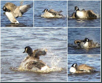 geese bath collage