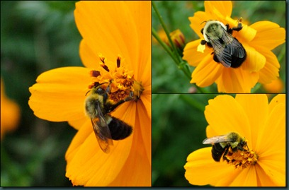 bees-coreopsis collage