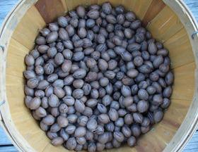 pecans picked (4)