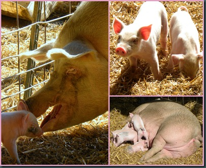 piglet collage2