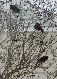 blackbirds in tree1210 (1)