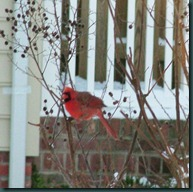 male cardinal1210 (5)