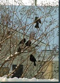 starlings treed1210 (2)