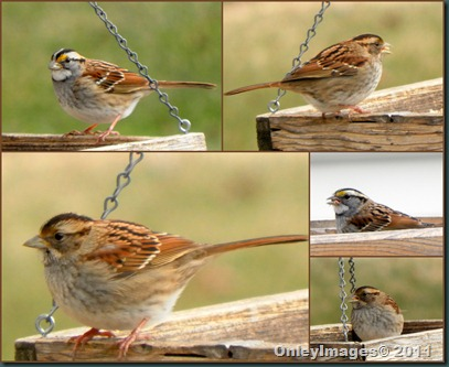 sparrow collage1