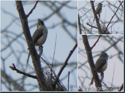 tufted titmouse collage1