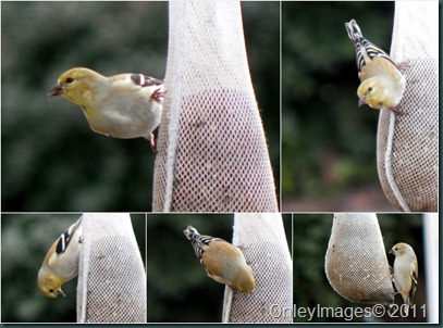 goldfinch collage1
