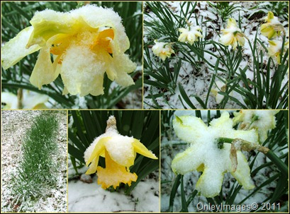 daffodil snow collage0327