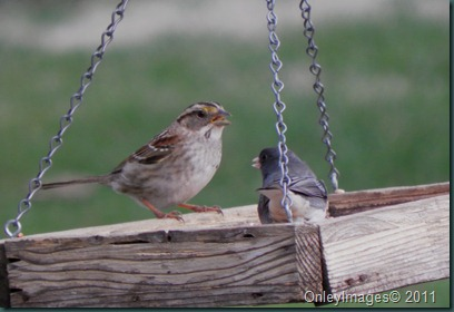 sparrow-junco 031511