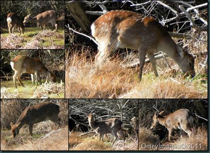 deer collage1 031911