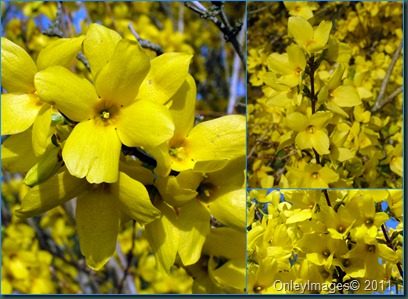 forsythia collage032011