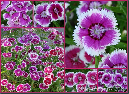 dianthus patio collage0502