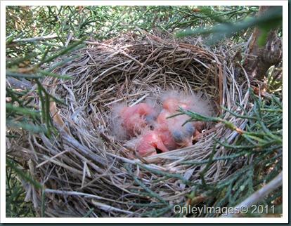 robin nest 0513 (1)