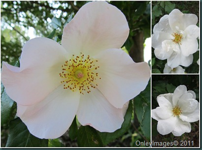 white rose collage