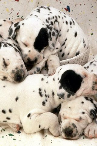 Sweet Dreams Dalmatian Puppies Picture iPhone Wallpaper