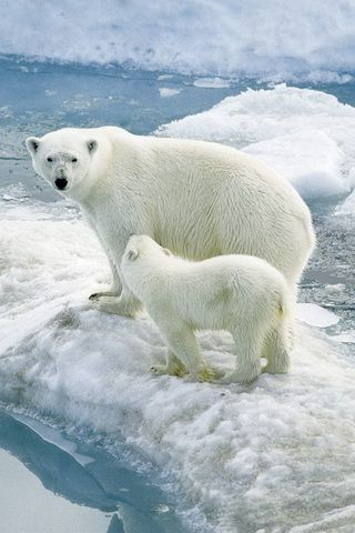 Polar Bears in the Wild Picture iPhone Wallpaper