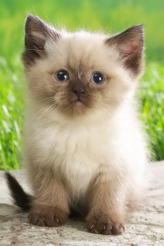 Cute Persian Cat Photo iPhone Wallpaper