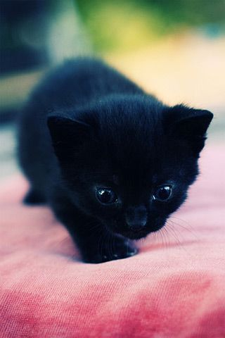 Kitten Picture Wallpaper For iPhone