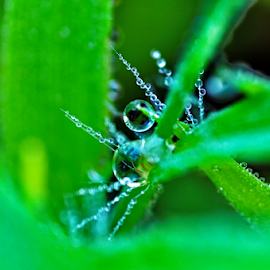dew drops by Ashutosh Singhvi - Nature Up Close Leaves & Grasses ( dew, drops, grass leaves )