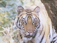 Kanha Tiger1.jpg