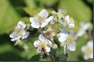 セイヨウヤブイチゴ(ブラックベリー)の花
