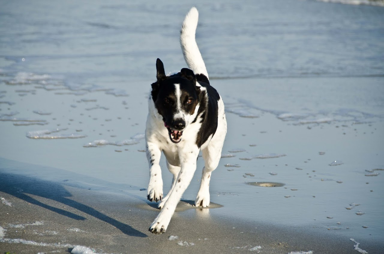 Abby running on the beach