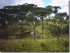 Araucarias do Parana