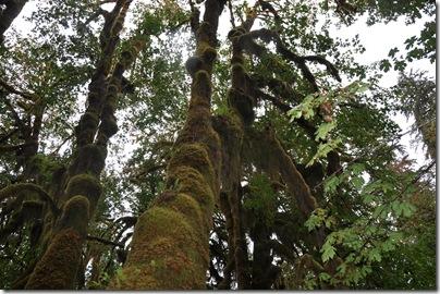 Hoh Rain Forest 057
