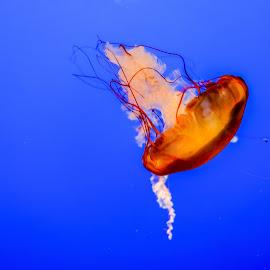 Jelly by Innocensia Salazar - Animals Sea Creatures ( water, orange, colorful, aquarium, sea, ocean, jelly, jellyfish,  )