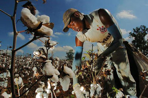 Cotton spot rate at record high of Rs10,600 per maund