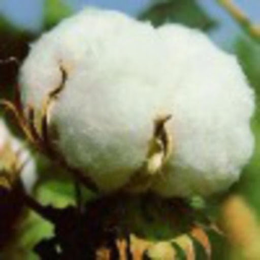 Chinese Farmers Hoarding Cotton as Prices Advance, WSJ Reports