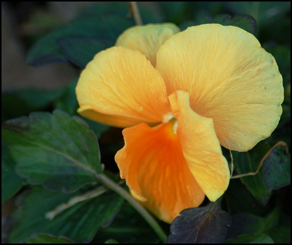 yellow pansie