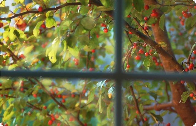 crabapple tree from window