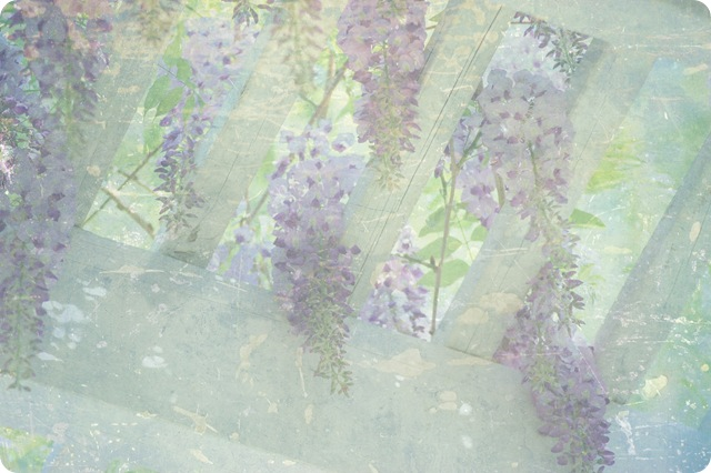 wisteria clusters w sun shining through w pg2 at 50 copy