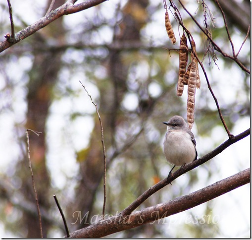 mocking bird w watermark