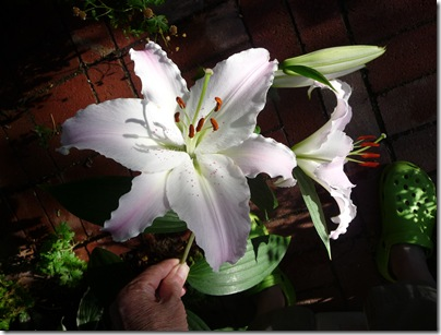 lily 003