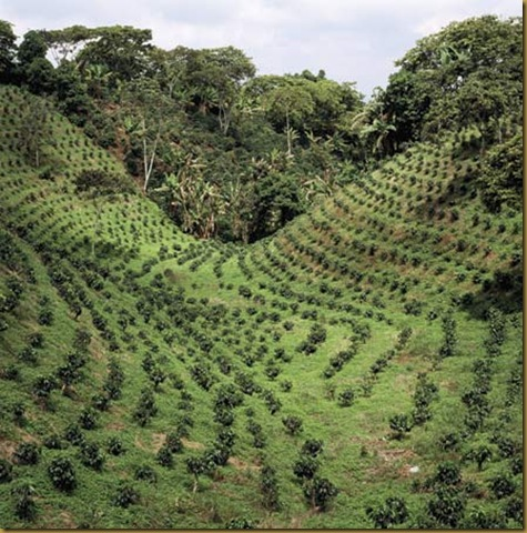 coffee_plantation
