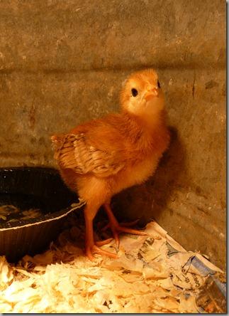 chicks 005