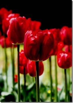 tulips_by_Nekibuya