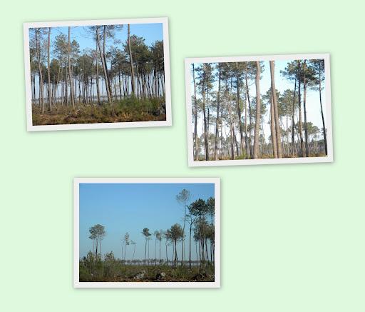 forêt landaise clairsemée